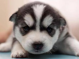 adorable husky