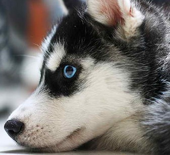 black white husky puppy