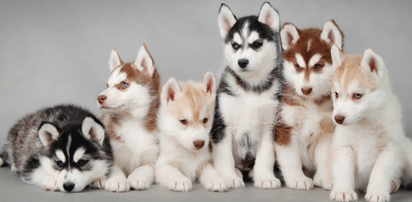 group of huskies