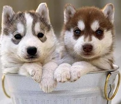 husky puppy love