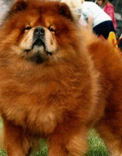 picture of chow chow