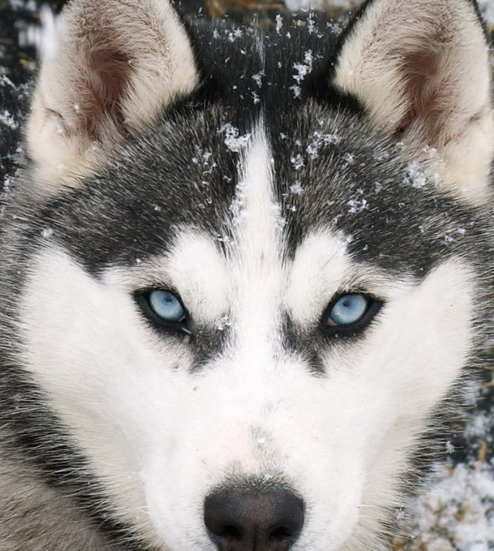Siberian Huskies Wallpaper
