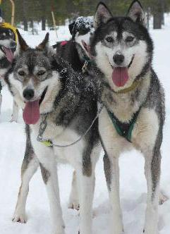 Siberian Huskies Winter