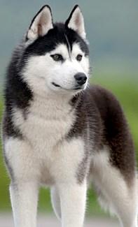 Siberian Huskies | Alaskan Siberian Huskies