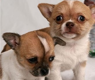 two chihuahua puppies