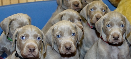 weimaraner puppy photos