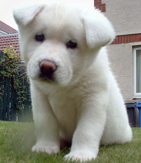 Akita Puppy | Akita Inu Puppy Pictures