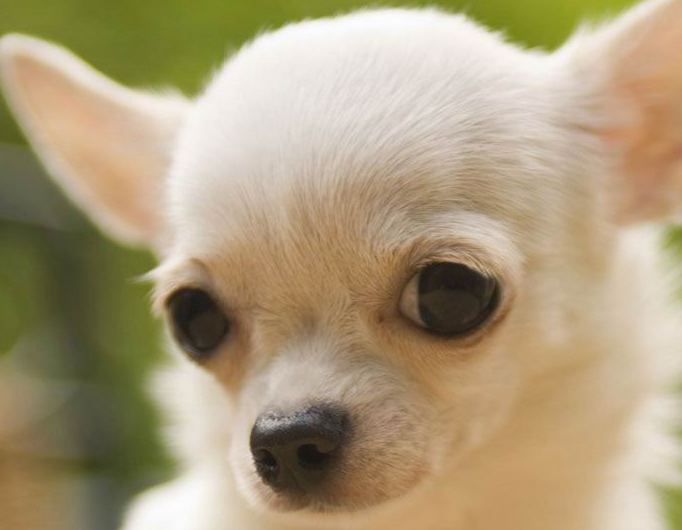 Chihuahua Puppy | Chihuahua Puppies for Sale