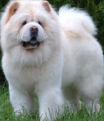 white chow chow puppy