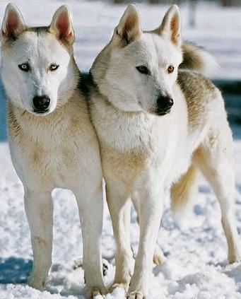 White Siberian Huskies