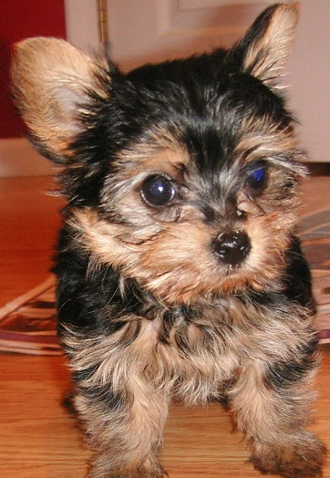 akc yorkshire terrier puppy