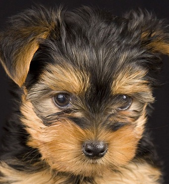 cute yorkshire terrier picture